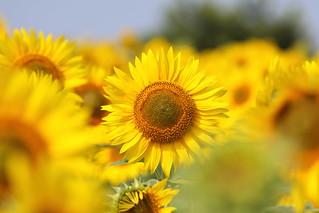 たくさんのひまわり/ A lot of sunflowers