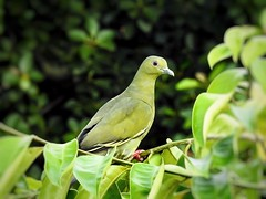 Yellow-green pigeon (tanreineer) Tags: fly fruitree ba leaves tree stand nice alone wild beauty eyes color feather bird nikonp900 pigeon