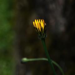 Natureza / Nature (Francisco (PortoPortugal)) Tags: 1692017 20170505fpbo5536 flor flower natureza nature quadrada square amarelo yellow porto portugal portografiaassociaçãofotográficadoporto franciscooliveira