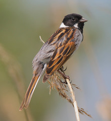 Reed bunting (male) (badger2028) Tags: reed bunting male emberiza schoeniclus