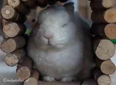 Week 28, 3x50 project (cindydebree.nl) Tags: lapin 3x50 50mm18stm 50mm 3x50project 3x502017 canonnl canon canoneos80d plasticfantastic niftyfifty fotoproject dier pet huisdier huisdierenfotografie animal kleur colours colors bunny matzi rabbit kaninchen konijn cute adorable