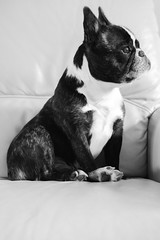 Proud Wilma (from the lens of G) Tags: dog portrait animal cute love funny proud cool blackandwhite bw frenchbulldog pet