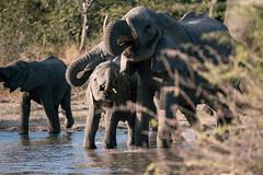 Doing a stopover (knipslog.de) Tags: elephants water waterhole botswana botsuana safari adventure wildlife wild animals selfdrivesafari