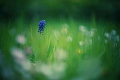 so sad (christian mu) Tags: flowers bokeh nature spring münster muenster botanicalgarden botanischergarten germany schlossgarten christianmu 85mm batis 8518 zeiss sonya7ii batis8518