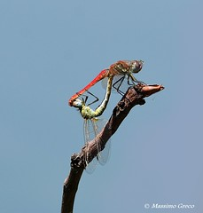 Sympetrum fonscolombii (Massimo Greco * ( 9.3 Million views )) Tags: libellule sympetrumfonscolombii