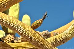 Cactus candelabro (Browningia candelaris) (Javiera C) Tags: chile arica parinacota parquenacional nationalpark parquenacionallauca laucanationalpark altiplano highlands desert desierto plant planta flora vegetación vegetation vegetal cactus cactuscandelabro browningiacandelaris