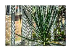 Leaves and lines (hehaden) Tags: plant leaves pointed green shadows lines greenhouse victorian garden bordehill sussex hdr treyratcliff