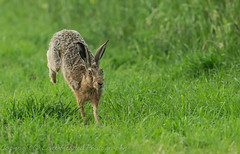 Hare - (Lepus) 'Z' for zoom (Explored) (hunt.keith27) Tags: lepus hare ears fields fastrunning longearedmammal jumping distinguishedpictures