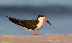 Black skimmer.Nickerson beach ny (mandokid1) Tags: canon canon7dmk11 ef400mmdoii birds nickerson