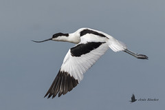Avoceta común (Recurvirostra avosetta) (jsnchezyage) Tags: avocetacomún recurvirostraavosetta ave pájaro fauna naturaleza birding bird vuelo