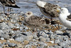 Caspian Gull (Larus cachinnans) (TG23-Birding in a Box) Tags: laruscachinnans caspiangull gull gulls
