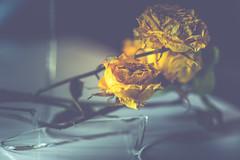 """52 still life """"broken/roto"""" 30/52 (magova) Tags: 52stilllife broken roto macro glass flower dry 3052 blue yellow"""