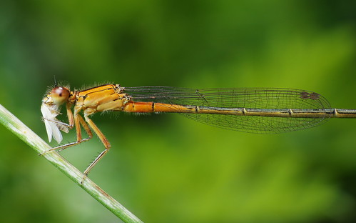 Forktail Damselfly (With Prey)