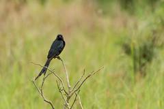 Black Drongo (malc1702) Tags: blackdrongo drongo birds birdphotography birdonaperch birdsinthewild birdsofindia wildlife animals bokeh smallbirds asianbirds asia india goa birdingingoa nature