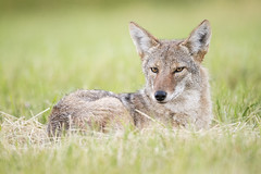 Bedded Down Northern Coyote (Jeff Dyck) Tags: coyote northerncoyote canislatrans canislatranslatrans princegeorge bc britishcolumbia animals wildlife jeffdyck
