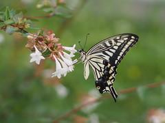 ナミアゲハ (Polotaro) Tags: mzuikodigital45mmf18 butterfly insect bug nature olympus epm2 pen zuiko チョウ 蝶 虫 昆虫 自然 オリンパス ペン ズイコー ナミアゲハ 7月