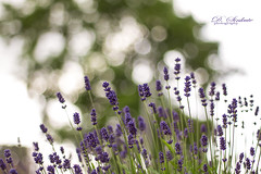 lavender dream ❤️ (D.Sinkute) Tags: lavender levandos canon 50mm nature naturephotography bokeh summer plant flowers garden norway sky blomster blooming blue purple