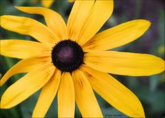 A Yellow Beauty (John Neziol) Tags: jrneziolphotography nikon nikondslr nikoncamera nikond80 nature blackeyedsusans blackeyedsusan flower bokeh brantford closeup macro yellow beautiful bright garden sunflower