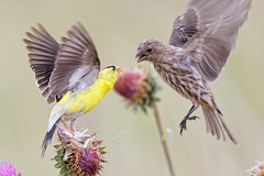 Goldfinch Defends His Thistle Bloom Against Female House Finch (dcstep) Tags: finch two housefinch goldfinch fight thistle aurora colorado unitedstates us n7a6082dxo canon5dmkiv ef500mmf4lisii allrightsreserved copyright2017davidcstephens dxoopticspro114 cherrycreekstatepark sunrays5