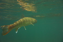 Iwana DSC_3754 (touhenboku) Tags: iwana char イワナ fly fishing flyfishing rock stream headwater fall