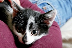 cat number 2: Kali (nelesch14) Tags: kitten cat baby cute closeup rescue kali pet cuddle tired