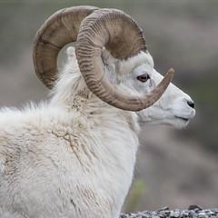 dallsheep at Denali Alaska (Flight of life) Tags: dall sheep denali alaska
