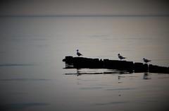 The dimming of the day (babs van beieren) Tags: 7dwf sunday fauna animal bird seagull sea ocean water laozi