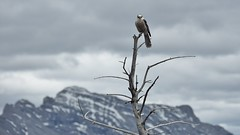Out of reach (naromeel) Tags: banff canada nature birds animal