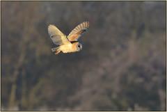 Barn Owl (image 2 of 3) (Full Moon Images) Tags: rspb fen drayton lakes wildlife nature reserve cambridgeshire bird flight flying prey birdofprey barn owl