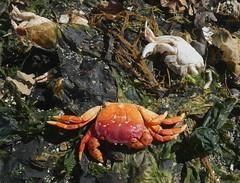 Beach Textures (Ramona H) Tags: memberschoicetexture macromondays beach texture crab seaweed sand