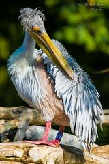 Pelikan (ab-planepictures) Tags: pelikan zoo duisburg tier vogel bird animal deutschland germany