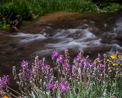Stream Side Lupine (droy0521) Tags: lupine summer landscape flowersplants stream outdoors water flower places colorado