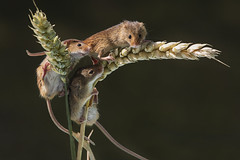 Harvest Mouse (Hobo50) Tags: naturewatcher select harvestmouse harvestmice mouse mice nature naturalhistory