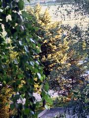 Утро.. (Florildi) Tags: лето утро деревья summer russia tree morning