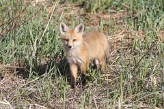 Red Fox kit (mobull_98) Tags: redfox kit