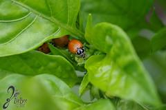 Macro-LadyBugs_257 (ZieBee Media) Tags: ladybug garden