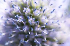 nuage bleu (ptxjp) Tags: nature arabesque vegetal plante couleur bleu blue nikond300 captureone