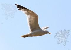 seagull2017_06.jpg