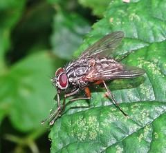 Crawling (Bricheno) Tags: macro fly insect bricheno scotland escocia schottland écosse scozia escòcia szkocja scoția 蘇格蘭 स्कॉटलैंड σκωτία renfrew
