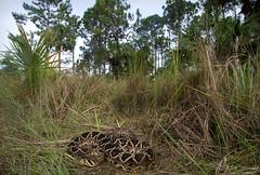 Eastern Diamondback Rattlesnake (Nick Scobel) Tags: eastern diamondback diamondbacked rattlesnake rattler crotalus adamanteus florida everglades venomous snake pit viper fangs dangerous