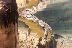 Crocodile (tesKing (Italy)) Tags: abudhabi dubai dubaimall emiratiarabi uae emiratiarabiuniti ae