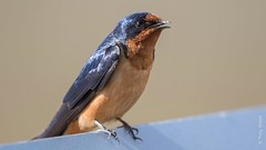 Barn swallow (Hirundo rustica) (Tony Varela Photography) Tags: bars barnswallow hirundorustica photographertonyvarela swallow