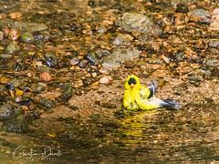 Goldfinch (ChristineDarnell) Tags: creek bird finch goldfinch