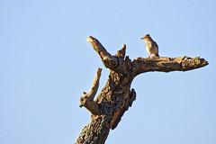 Alouette des champs (floLMA) Tags: alouettedeschamps alaudaarvensis eurasianskylark passériformes alaudidés lauragais fourquevaux