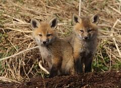 A pair of red fox kits... (Guy Lichter Photography - 3.5M views Thank you) Tags: canon 5d3 canada manitoba wildlife animals mammal mammals fox redfox kits