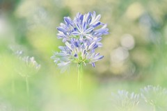 Holding On To You (Anna Kwa) Tags: lilyofthenile agapanthus flowers macro art nature bokeh gbb annakwa nikon d750 afsvrmicronikko105mmf28gifed my forever holdingon always seeing heart soul throughmyeyes dreams memories promise destiny fate johnnystimson wmh
