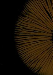 58333.11 mushroom spore patterns (horticultural art) Tags: horticulturalart mushroomsporepattern sporepattern spores mushroom pattern
