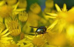 ragwort (conall..) Tags: fly bottle ragwort jacobaea vulgaris jacobaeavulgaris macro raynox flower flowers
