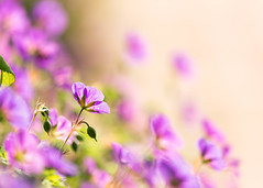 Fading into the Light (mclcbooks) Tags: flower flowers floral summer denverbotanicgardens colorado pink purple hertotallystunningpieceofphotography maichael