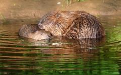 Grooming (Robin M Morrison) Tags: beaver river otter devon